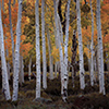 Pando, Trembling Giant, Fish Lake National Forest, Utah 2017